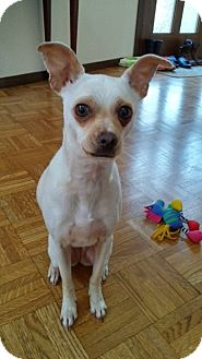 Italian Greyhound/Chihuahua Mix Dog for adoption in Covington, Washington - Lily-adoption pending