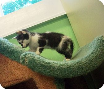 American Shorthair Kitten for adoption in Port St. Joe, Florida - BATMAN
