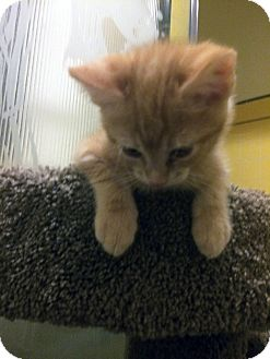 Domestic Shorthair Kitten for adoption in Mission Viejo, California - Butters