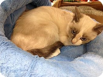 Snowshoe Kitten for adoption in Dallas, Texas - Divinity