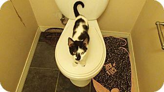 American Shorthair Kitten for adoption in Ponchatoula, Louisiana - Domino