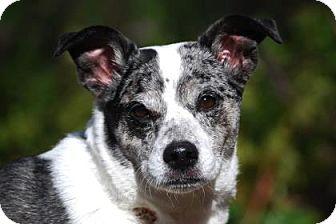 Australian Cattle Dog/Jack Russell Terrier Mix Dog for adoption in Bellevue, Washington - Bella Blue