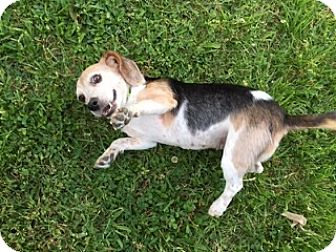 Beagle Mix Dog for adoption in Washington, D.C. - Dixie (POM-BS)