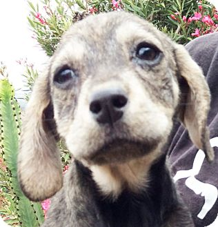 Beagle/Dachshund Mix Puppy for adoption in Poway, California - Rabbit