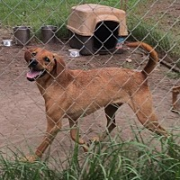 Bloodhound Mix Dog for adoption in Slidell, Louisiana - Hardy