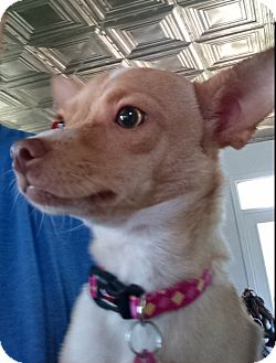 Chihuahua Mix Dog for adoption in Cat Spring, Texas - Autumn