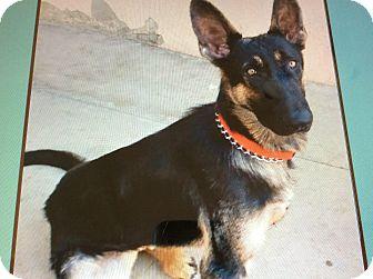 German Shepherd Dog Puppy for adoption in Los Angeles, California - LANZO VON LUCKAU