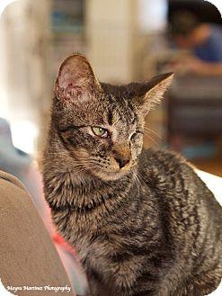 Domestic Shorthair Kitten for adoption in Huntsville, Alabama - Sparrow