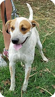 Australian Cattle Dog Mix Dog for adoption in Cat Spring, Texas - Ryker