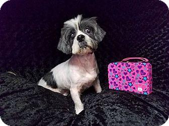 Shih Tzu Mix Dog for adoption in Urbana, Ohio - Nora Miami