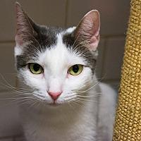 Adopt A Pet :: Bennett - New York, NY