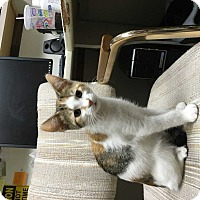 Calico Cat for adoption in Norwich, New York - Topaz