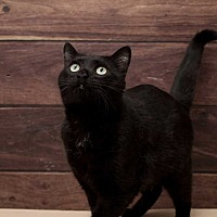 Domestic Shorthair Cat for adoption in Woodstock, Georgia - ROCCO