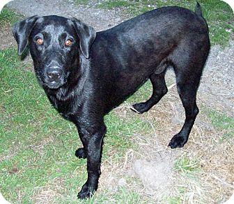 Labrador Retriever/Blue Heeler Mix Dog for adoption in Waller, Texas - Remi