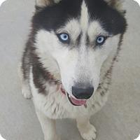 Adopt A Pet :: Georgie - Apple valley, CA
