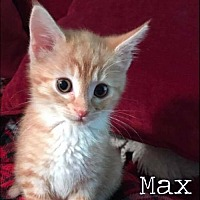 Adopt A Pet :: Max- Currently in foster home - Roanoke, VA