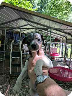 Terrier (Unknown Type, Small) Mix Puppy for adoption in Hohenwald, Tennessee - Oddy