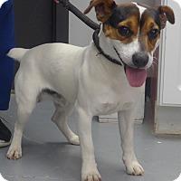 Adopt A Pet :: Capone - Manning, SC