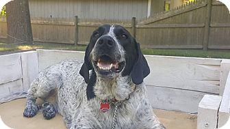 German Shorthaired Pointer Mix Dog for adoption in Acushnet, Massachusetts - Ruby