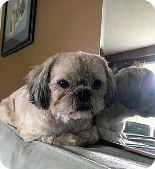 Shih Tzu Dog for adoption in Mississauga, Ontario - Kingsley