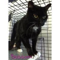 Adopt A Pet :: BLOSSOM - Converse, TX