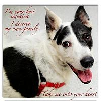 Adopt A Pet :: Hank wonderful loving boy - Redding, CA