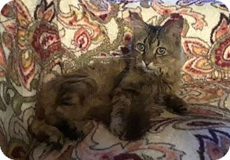 Domestic Longhair Cat for adoption in Naples, Florida - Aurora