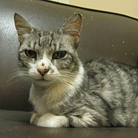 Domestic Shorthair Cat for adoption in Sherman Oaks, California - Con
