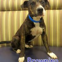 Adopt A Pet :: Browning - Georgetown, SC