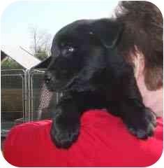 Labrador Retriever/German Shepherd Dog Mix Puppy for adoption in Hammonton, New Jersey - dasher