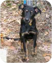 Shepherd (Unknown Type)/Rottweiler Mix Dog for adoption in Randolph, New Jersey - Dawn