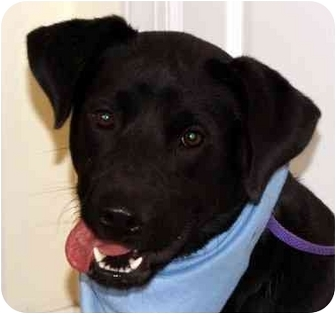 Labrador Retriever Mix Dog for adoption in Chapel Hill, North Carolina - Tracker