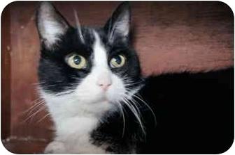 Domestic Shorthair Cat for adoption in Xenia, Ohio - Jenga