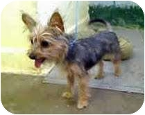 Yorkie, Yorkshire Terrier Mix Puppy for adoption in Orange, California - Jewel