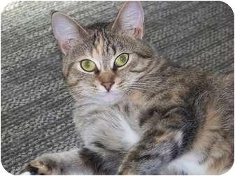 Calico Cat for adoption in Wildwwod, Florida - Honey