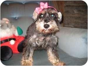 Schnauzer (Miniature) Dog for adoption in North Benton, Ohio - Brittney