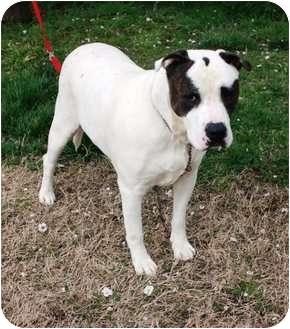 American Bulldog Mix Dog for adoption in Yuba City, California - JackJack