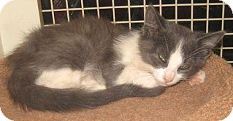 Russian Blue Kitten for adoption in Dallas, Texas - Bluetooth