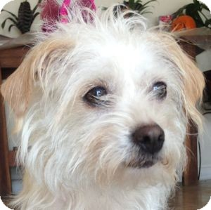 Maltese Mix Dog for adoption in Redondo Beach, California - Beautiful