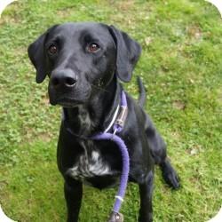 Labrador Retriever/Coonhound Mix Dog for adoption in Eatontown, New Jersey - John Wayne