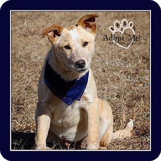 Australian Cattle Dog/Labrador Retriever Mix Puppy for adoption in Albany, New York - Kip