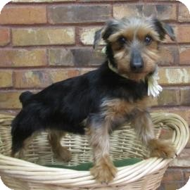 Yorkie, Yorkshire Terrier Mix Dog for adoption in Benbrook, Texas - Mindy