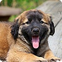 Adopt A Pet :: Fernando - Albany, NY