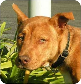 Basenji/American Pit Bull Terrier Mix Puppy for adoption in El Segundo, California - Jamie