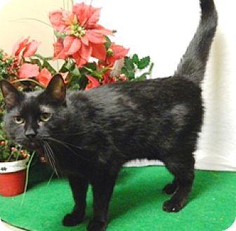 Domestic Shorthair Cat for adoption in Columbus, Nebraska - Biscut