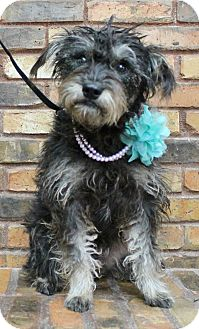Schnauzer (Miniature) Mix Dog for adoption in Benbrook, Texas - Lucy