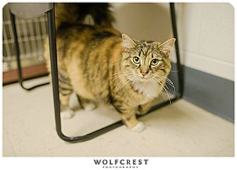 "Domestic Longhair Cat for adoption in Fredericksburg, Virginia - ""Dolly"""