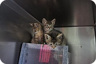 Domestic Shorthair Kitten for adoption in Henderson, North Carolina - S Kittens (3)*