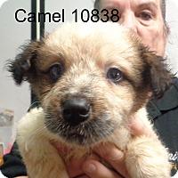 Adopt A Pet :: Camel - Greencastle, NC