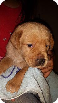 Golden Retriever/Labrador Retriever Mix Puppy for adoption in Davisburg, Michigan - pending adoption Nugget